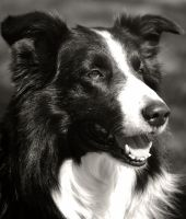 Border Collie face by Honeycorn