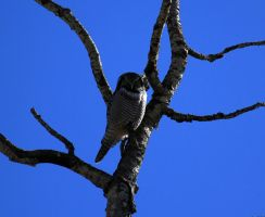 Northern Hawk Owl by sgt-slaughter