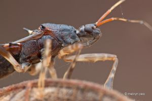 Assassin Bug (Reduviidae) by melvynyeo