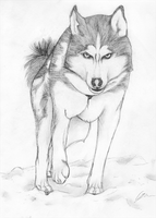 Husky by Tawned