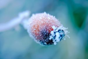 Frost on rosehip by PrincessAlbertSwe