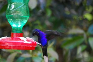 Bright blue humming bird by fightingcat46903