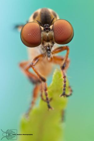 Robber Fly - Holcocephala abdominalis by ColinHuttonPhoto