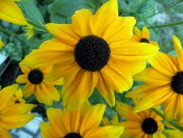 Black Eyed Susan by MikeyStudios