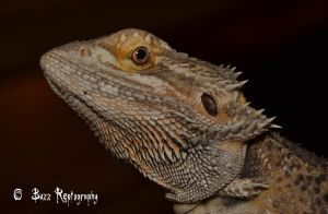 Normal Bearded dragon by Paulie78