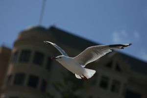 Seagull by newdystock
