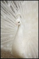white peafowl by Shan-ara