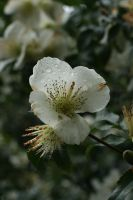 White Flower and Droplets by RaeyenIrael-Stock