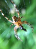 A little local orb weaver having its lunch by Arachnoid