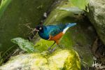 Superb Starling by jeans05
