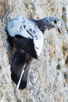Patmos pigeon 1 by wildplaces
