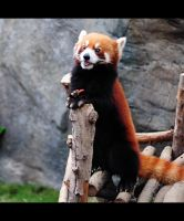 Red Panda ii by pmd1138