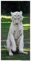 White Tiger by TVD-Photography