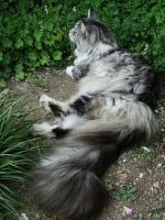 ..My Maine coon..... by Flore-stock