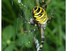 Spider3 Wespenspinne by schnegge1984