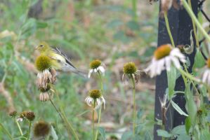 A Visitor In the Cone Flowers, Gold Finch Clinging by Miss-Tbones