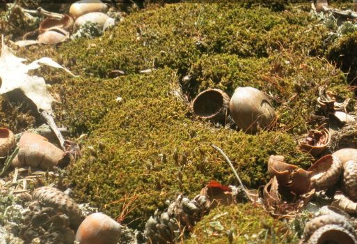 Moss with Acorn Shells by Dygyt-Alice