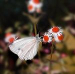 Butterfly on a white flower by Lady-Erin