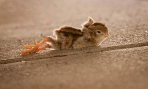 Quail chick stretch by kayaksailor