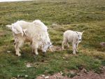 Mountain Goats: Father and Baby by Shadow848327