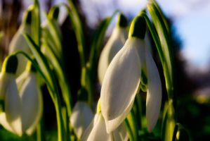 Snow Drops by GeorgeAmies