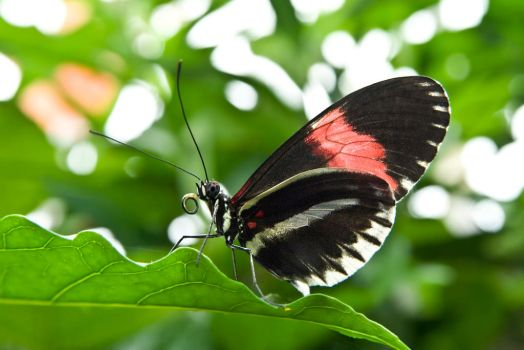 Heliconius #1 by MichelLalonde