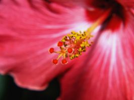 Hibiscus by AquarianPhotography