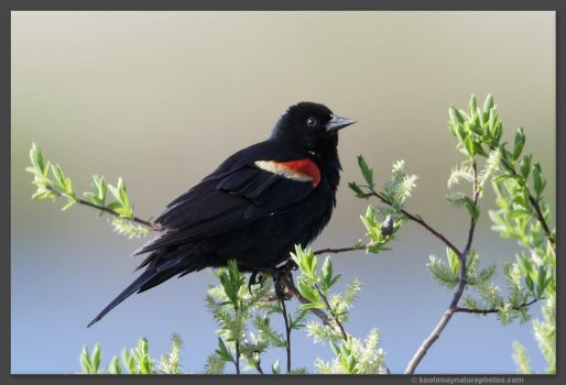 Red-winged Blackbird by kootenayphotos