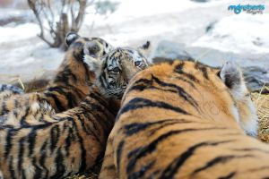 Amur Tiger Cubs 4353 by mgroberts