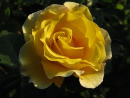 Yellow rose 2 by annie812