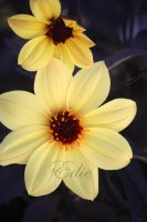 Bishop of York Dahlia by 1001G