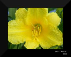 Yellow Day Lily by 3Fangs