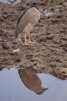 Black Crowned Night Heron by Dancing-Treefrog