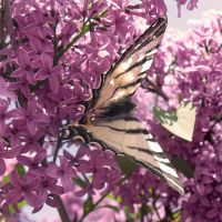 The butterfly and the lilac... by AleksandarDark