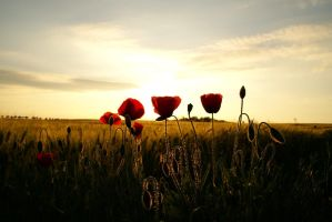 Poppy sunset by djurda