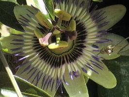 Passion flower by Guorba