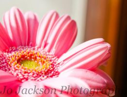 Pale Pink Gerbera 5 by Britwitch-1981