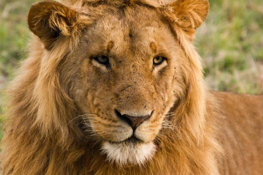 This is a Lion by greenjinjo