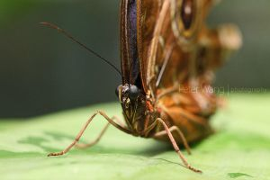 Morpho peleides by petertwang