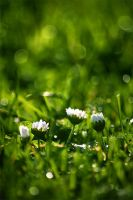 daisies and grass by tsigane