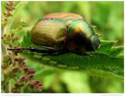 Rose Chafer II by In-the-picture