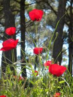 Sweet poppies by kailor