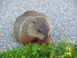 Groundhog 005 by presterjohn1