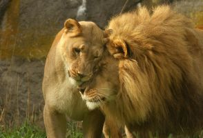 Leonine Lovers by kijani-lion