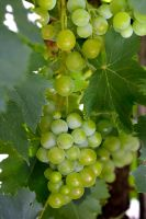 Muscatel Grapes by OPTILUX