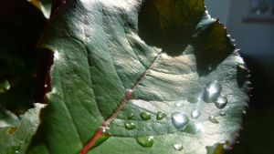 Leaf and Water 1 by flesheatingbug