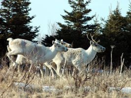 Caribous on the run 2 by LucieG-Stock