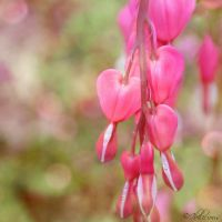 Bleeding Hearts by Ibilicious