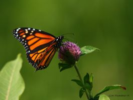 Monarch on Clover II by natureguy
