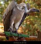 White Backed Vulture Zip 1 by SalsolaStock